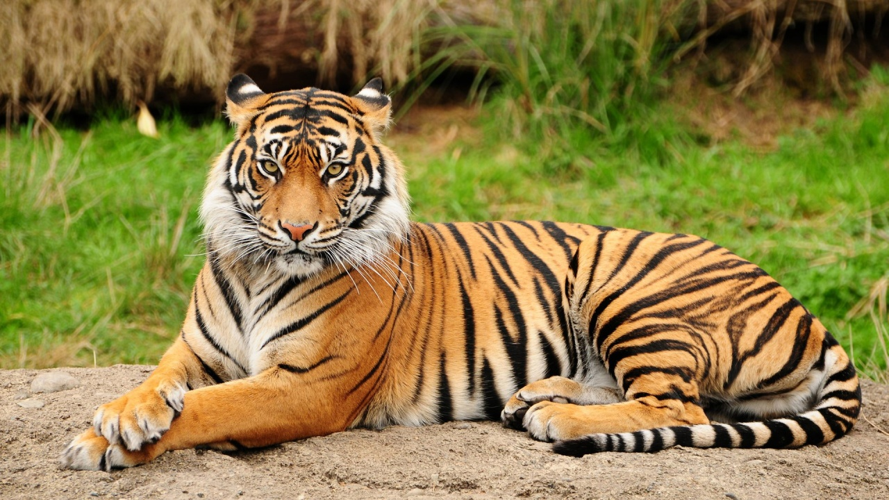 ผลการค้นหารูปภาพสำหรับ รูปเสือ