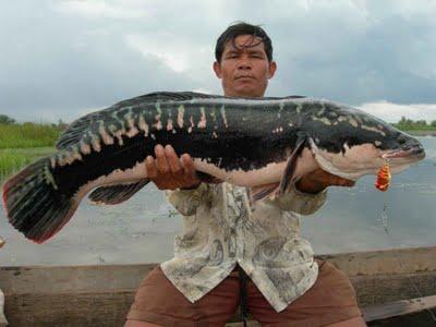 ผลการค้นหารูปภาพสำหรับ ปลาชะโด