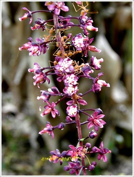 ผลการค้นหารูปภาพสำหรับ ภาพดอกชำมะเลียงฟรี
