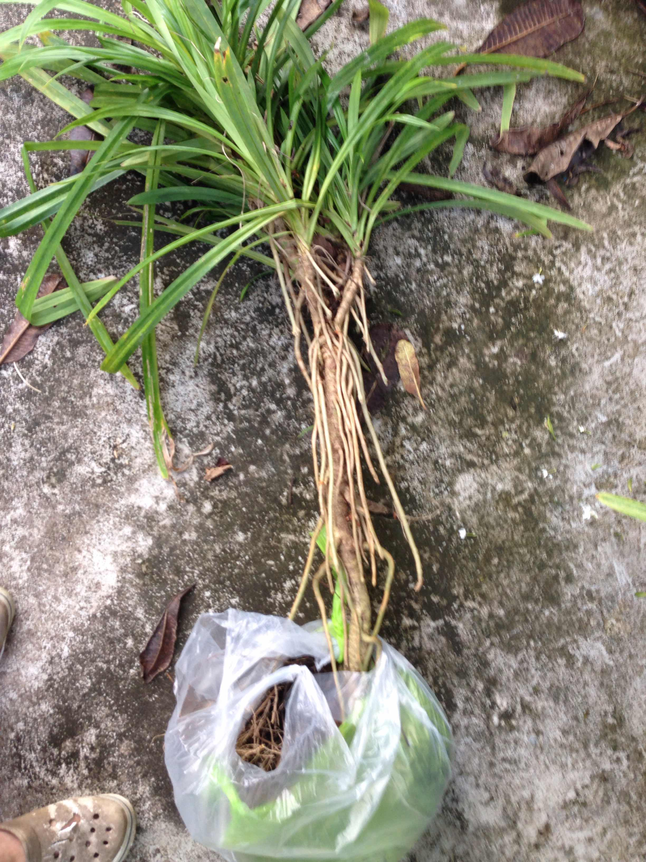 รากต้นเตยที่ใช้ต้มลดน้ำตาลเบาหวาน ใช้ส่วนไหนครับ Pantip