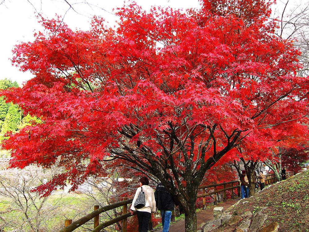 ใบไม้แดง