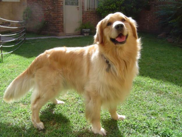ทำไมสุนัขเรา (พันธุ์โกลเด้นฯ) ถึงขนสั้นและไม่ฟูเหมือนของคนอื่นๆ ...