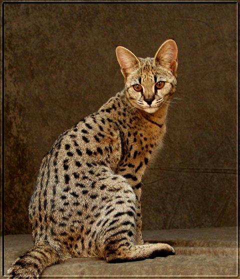 savannah cat กับ maine coon อยากจะเลี้ยงดีไหมครับ และเลี้ยงอะไรดีกว่ากัน -  Pantip