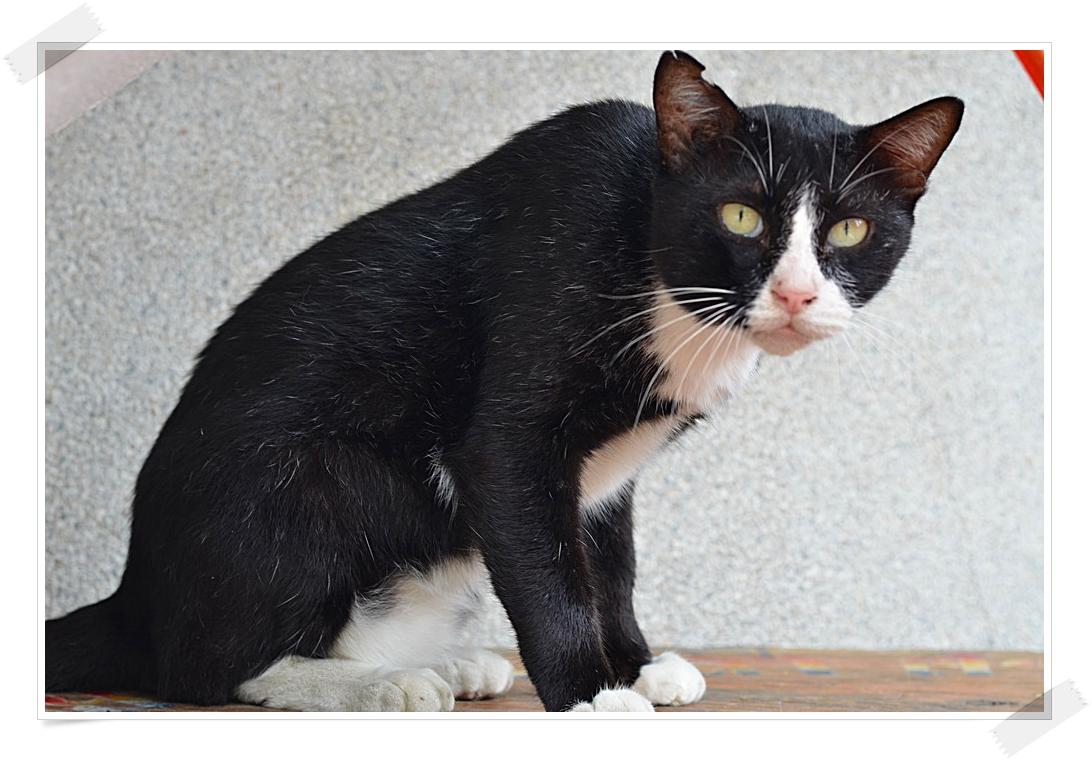 แมวตัวนี้ใช่ แซมเสวตร ไหม - Pantip