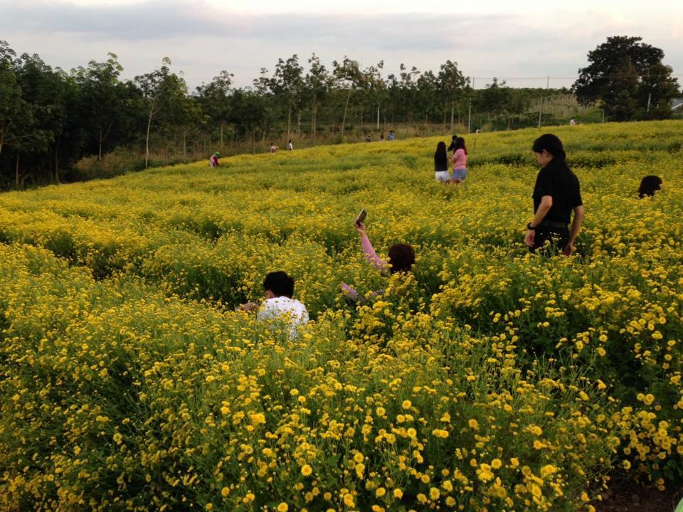 ผลการค้นหารูปภาพสำหรับ ย่ำแปลงวิจัยดอกเก๊กฮวย