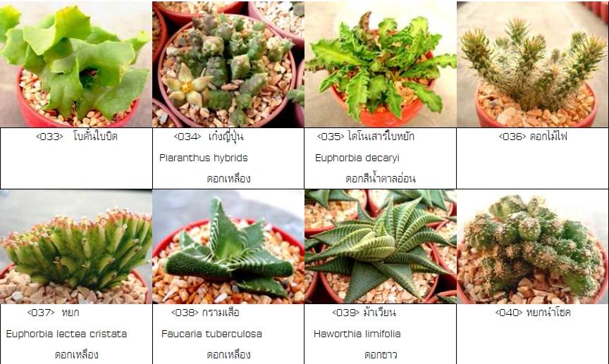 แอสโตรไฟตัม (Astrophytum) กระบองเพชรไร้หนาม ซ้ายมือของถูก แต่ขวามือแพงขาดใจ