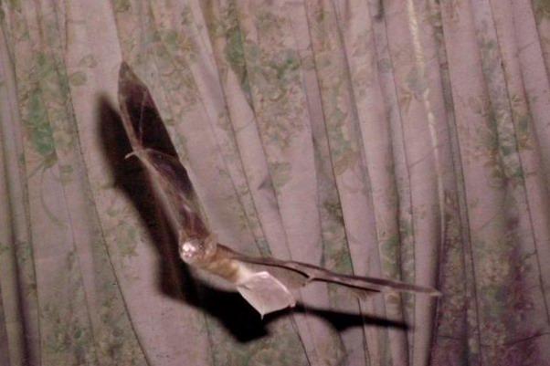 ฝันเห็นค้างคาวบินเข้าบ้าน