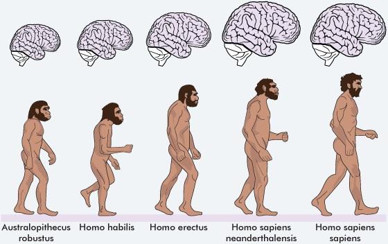 สมอง Homo Sapiens Sapiens (มนุษย์ปัจจุบัน) เทียบกับ บรรพบุรุษ