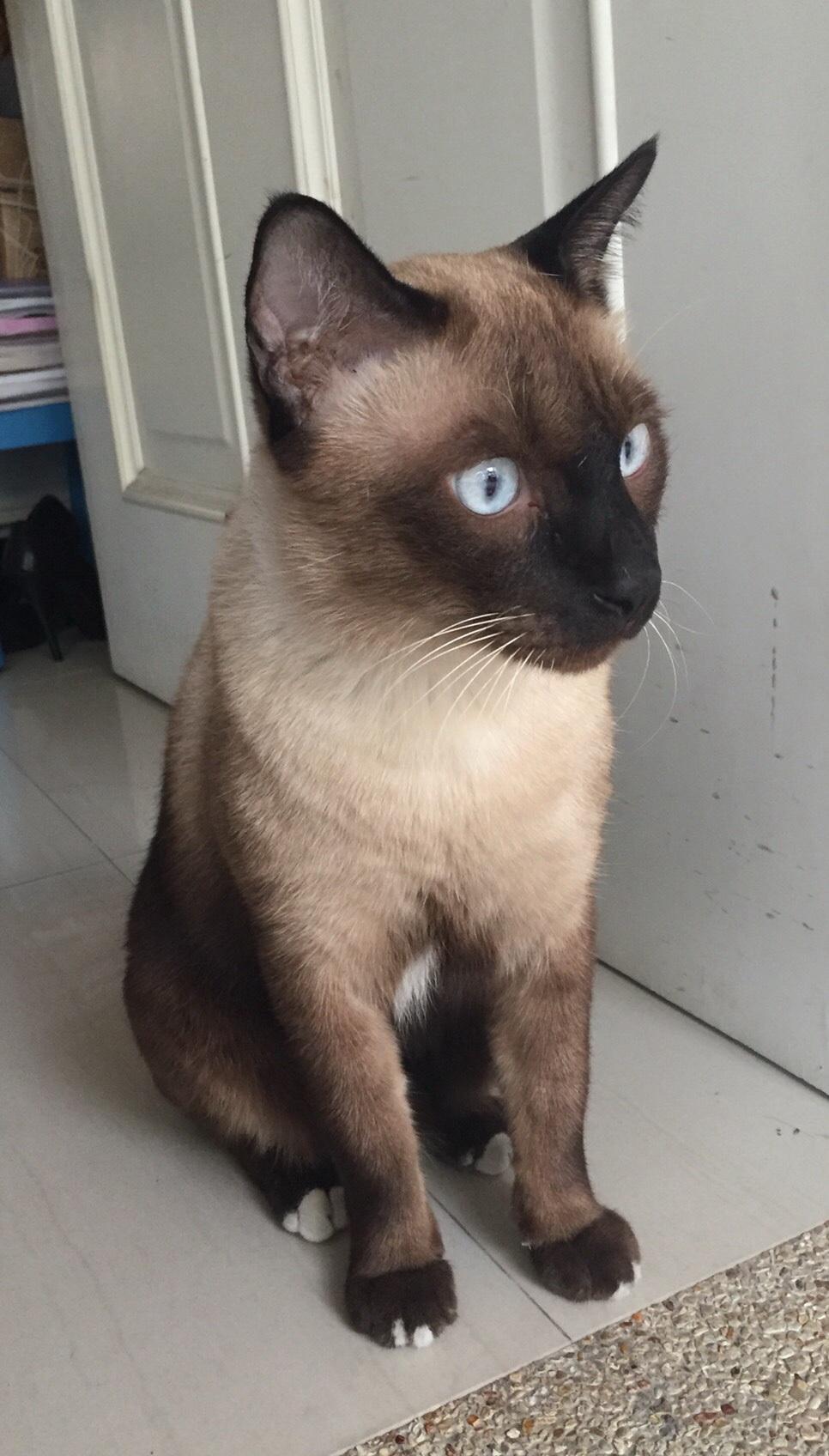 น้องแมววิเชียรมาศ สีสวย หาบ้านค่ะ - Pantip