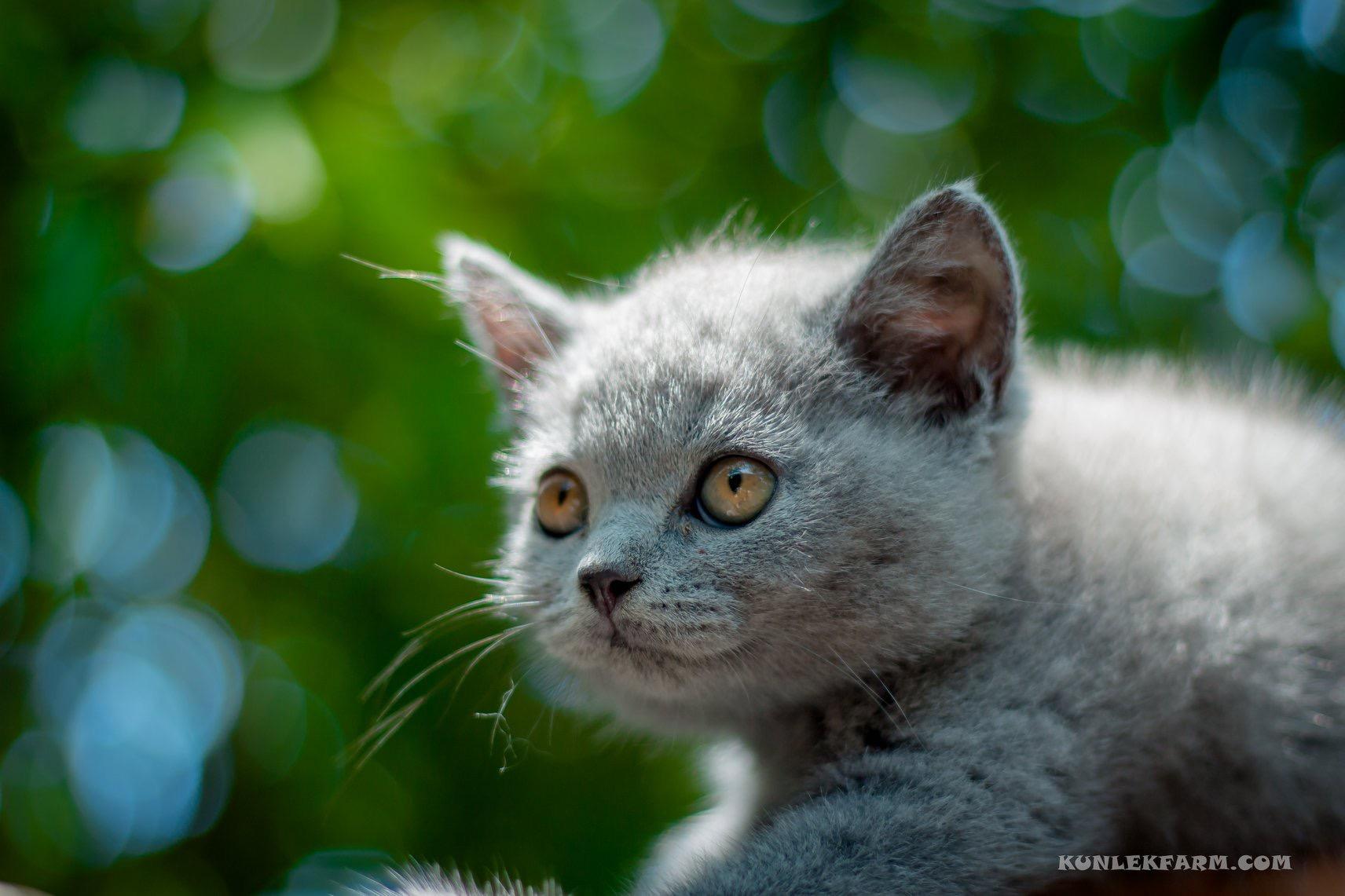 แมวฝรั่งพวกbritish shorthair สามารถหาซื้อเลี้ยงได้ที่ไหนบ้าง