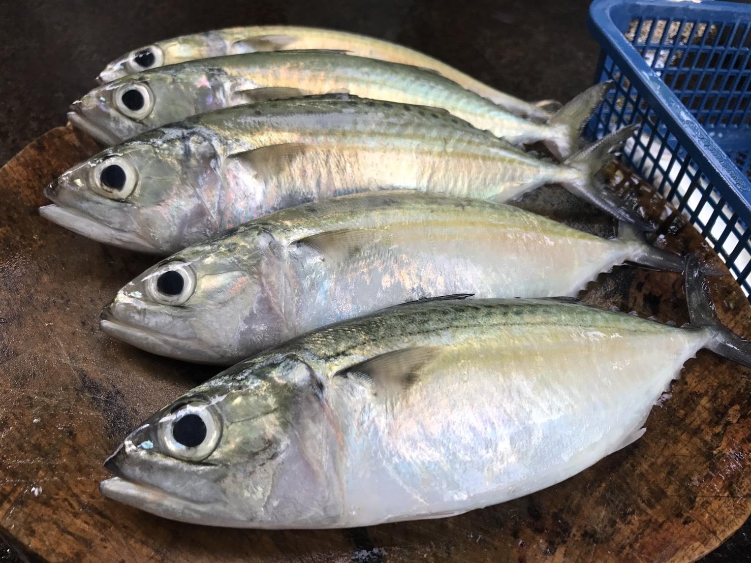 ผลการค้นหารูปภาพสำหรับ ปลาทูแขก ตัวใหญ่