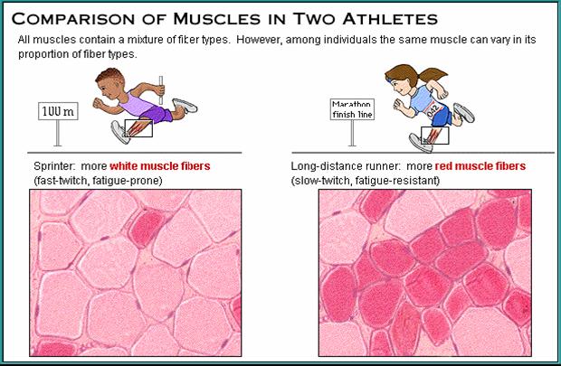 Fiziologija sporta, brza mišićna vlakna, usporedba sa sporim mišićnim vlaknima, sportovi,
